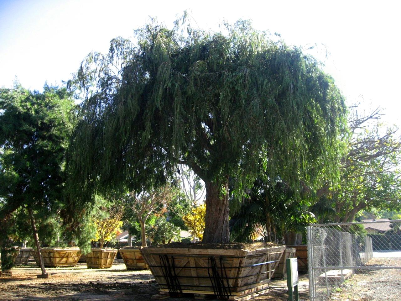 Senna Tree Nursery image - specimen trees available, we move big trees