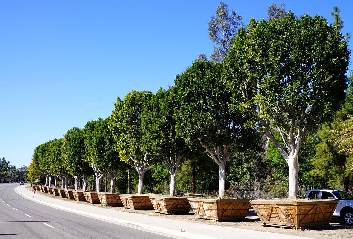 senna tree nursery
