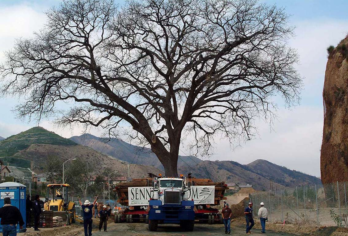 big tree moving - moving big trees - old glory - largest tree moved
